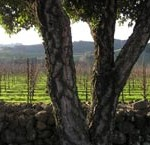 vineyard_with_tree