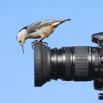 White-breasted Nuthatch on a Camera