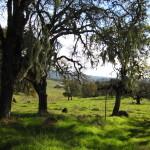 Oak trees trail